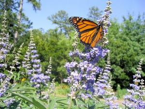 sauzgatillo mariposa